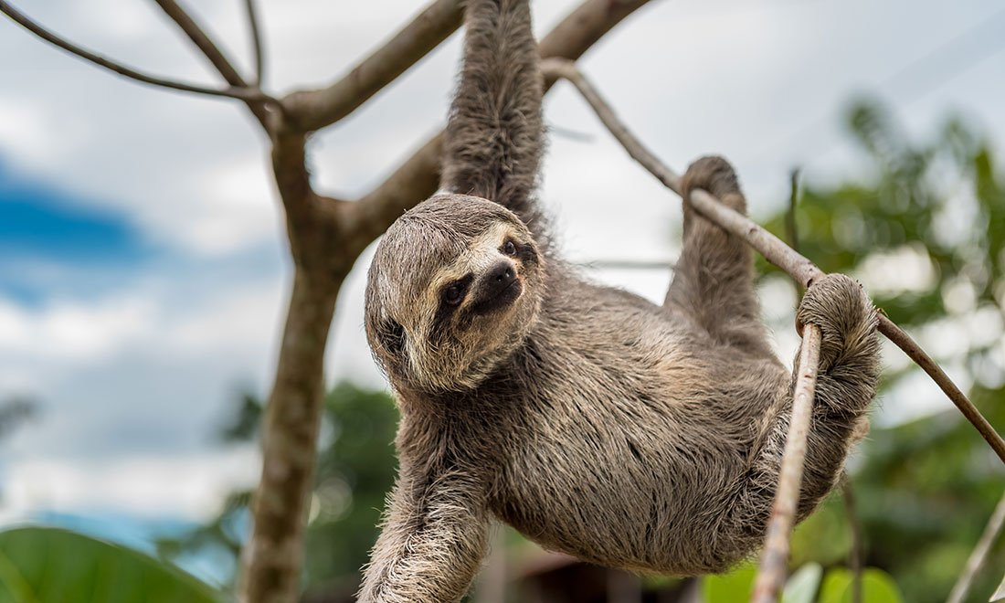 Sengångare, Costa Rica