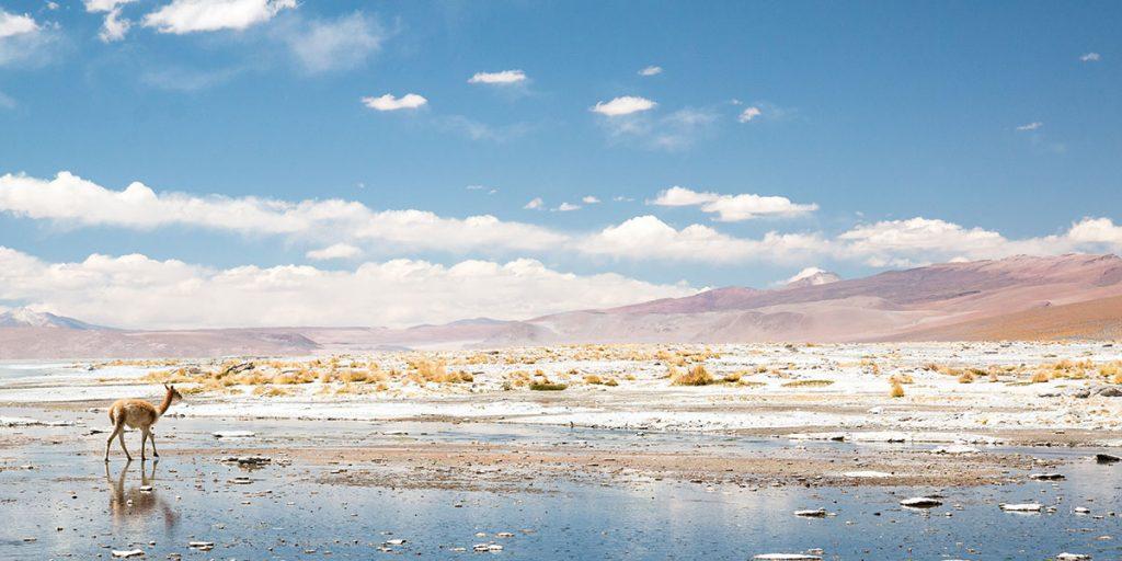 Saltöken, Sydamerika