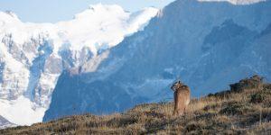 Puma i Patagonien, Chile