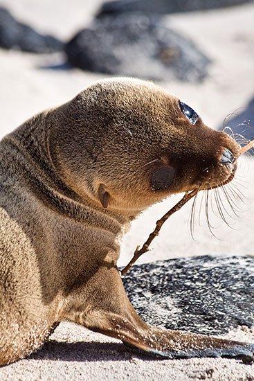 Säl på Galapagos