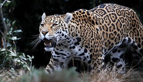 Jaguar, som man med lite tur kan få se i Pantanal, Brasilien