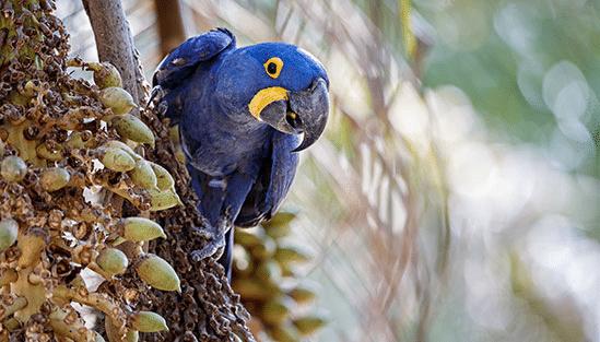 Papegojan Hyacintara, som kan ses i Pantanal, BrasilienSödra Pantanal Södra Pantanal innebär att man flyger till Campo Grande och sedan fortsätter västerut till Pantanal.  Vägen fortsätter hela vägen till gränsstaden Corumba 44 mil från Campo Grande. Corumba är en stor stad med c:a 100000 invånare på gränsen till Bolivia. De flesta rancherna och ekolodgerna ligger en bra bit bort från den stora vägen inåt Pantanal En av de mest uppskattade lodgerna är Caiman Lodge med hög klass, som ligger på ett 53 hektar stort område. Här bor man i tre eller fyra nätter och gör utflykter i den vackra naturen. Precis som så många andra lodger är Caiman Lodge fortfarande en boskapsranch och har speciella paket för de som vill pröva på cowboylivet. Den mest uppskattade lodgen av alla här Recanto Barra Mansa, som ligger i en otroligt vacker natur. Det enda sättet att komma dit är att flyga, vilket innebär att den kostar betydligt mer än övriga lodger. Pantanal är känt för sitt fina fiske. Det finns speciella hotell eller båtar för de fiskeintresserade som väljer att åka till Pantanal för att uppleva de fina fiskemöjligheterna.