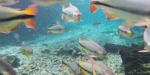 Undervattensbild från Bonito i Brasilien