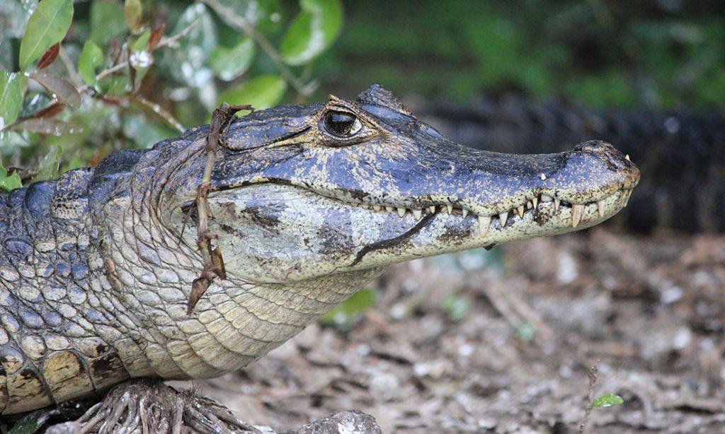 Pantanal Alligator
