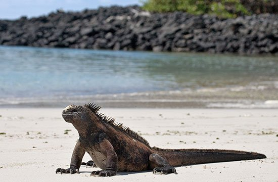 Landleguan på Galapagosöarna