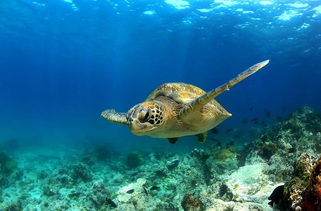 Snorkla bland havssköldpaddor