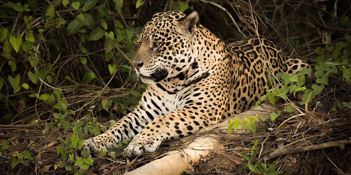Jaguar i Pantanal